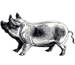 Зааненская порода коз: описание, содержание и уход