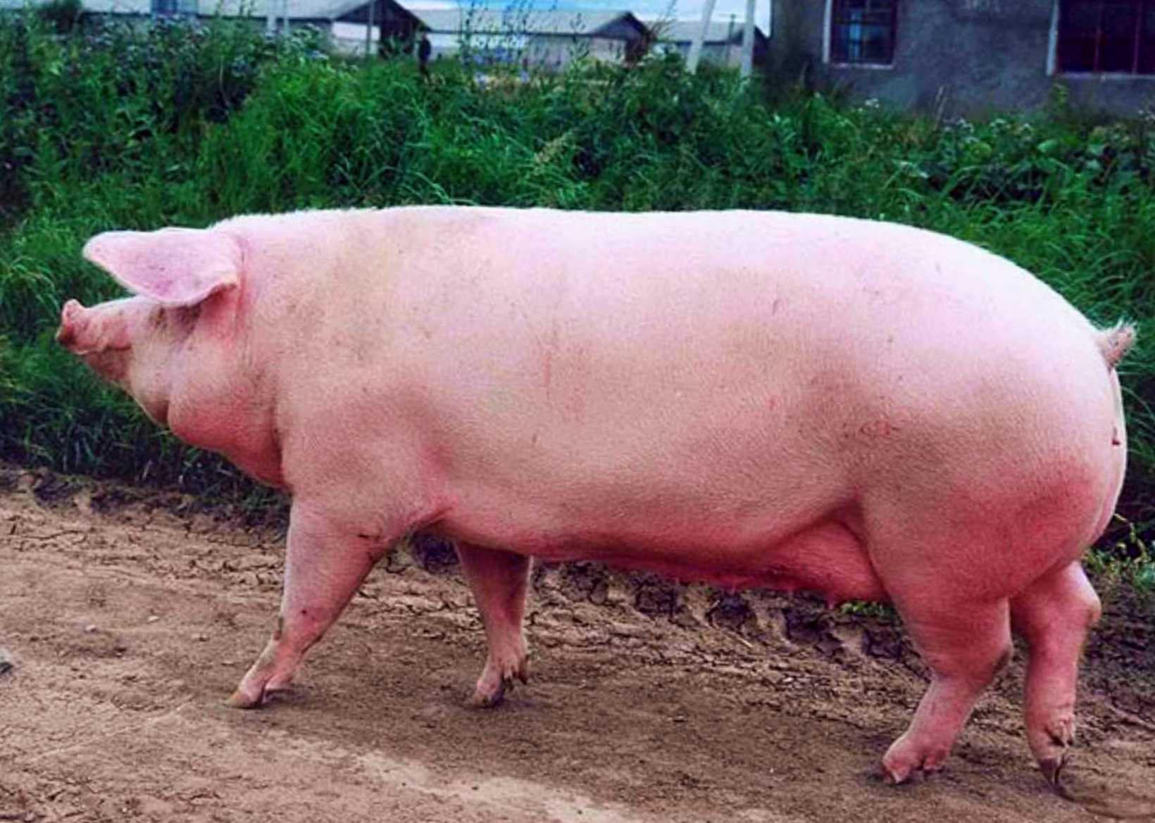 Свинья эстонская беконная