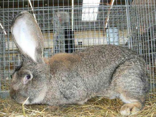 Кролик породы фландр