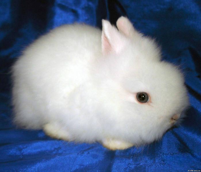 Кролик породы ангора