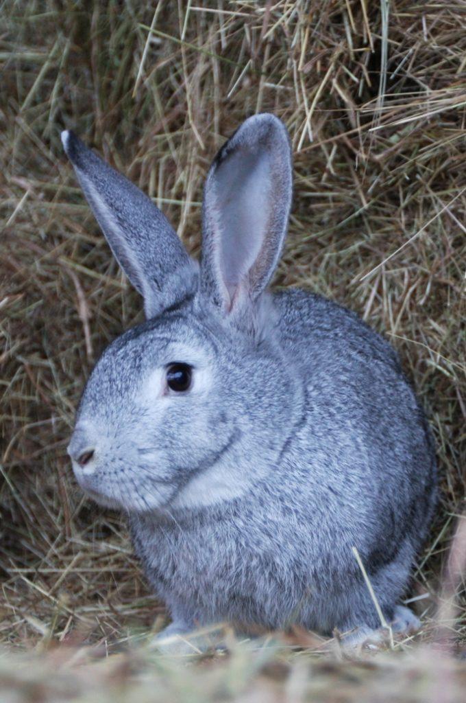 Кролик породы шиншилла