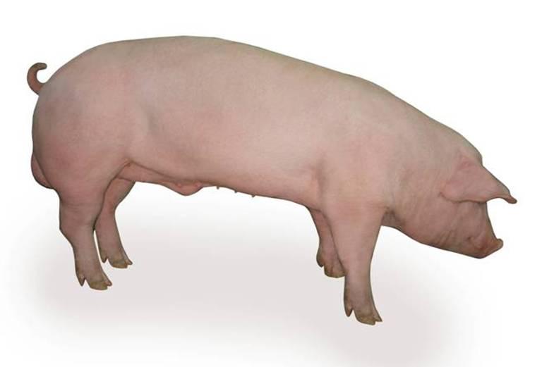 Свинья породы Немецкий ландрас