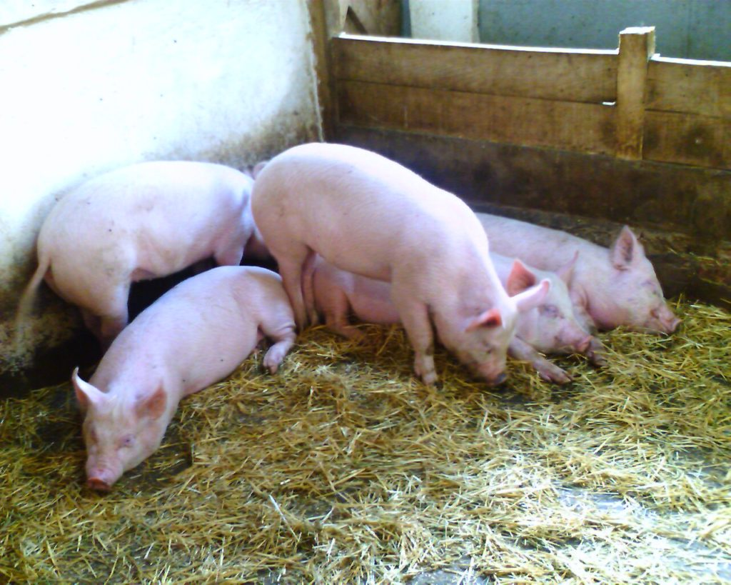 Свинарники для выращивания свиней на мясо