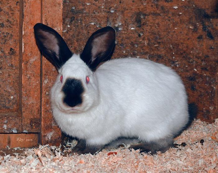 Кролик гималайский