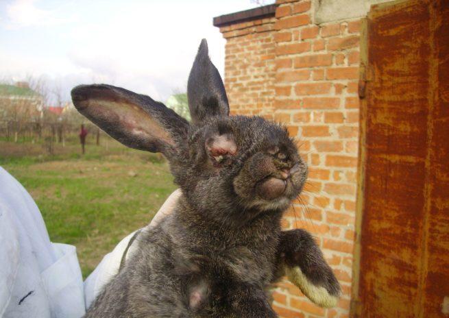 Геморрагическая болезнь у кролика