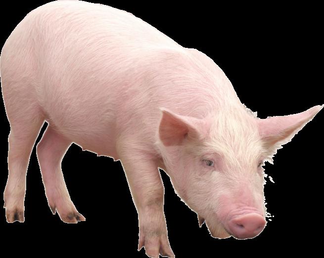 Свинья породы Латвийская белая