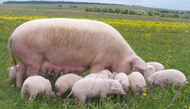 Свинья Украинская степная