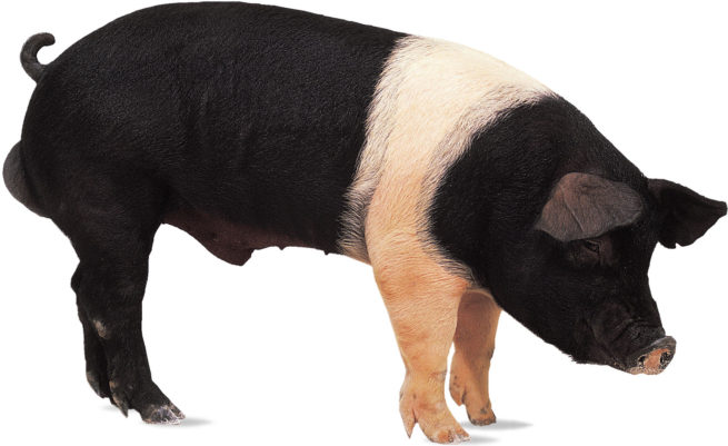 Свинья породы Гемпшир