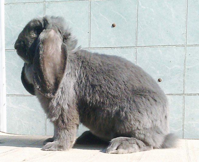 Кролик породы французский баран