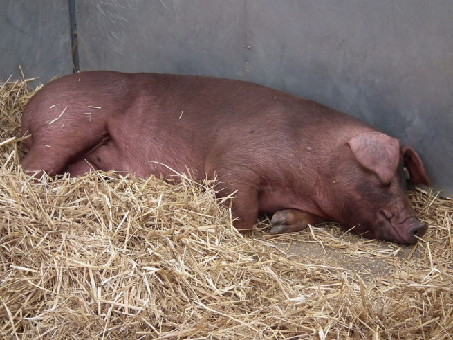 Свинья породы Дюрок