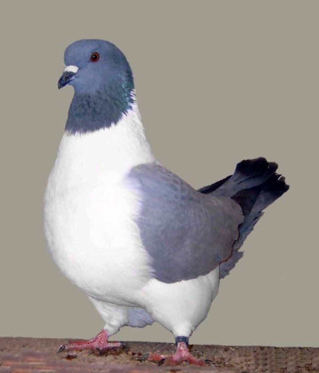 Голубь породы Штрассер