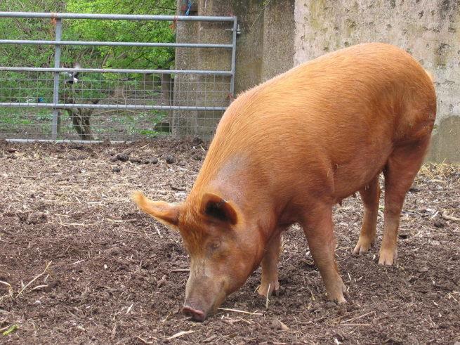 Свинья породы Тамворс