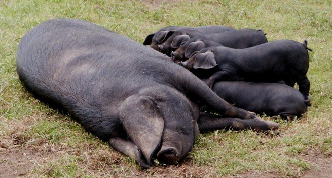 Свинья крупная черная