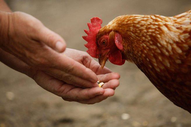 Человек кормит с рук курицу