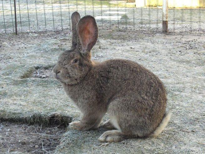 Кролик породы Бельгийский великан