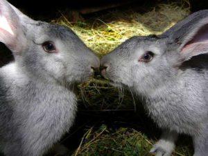 Кролики на случке