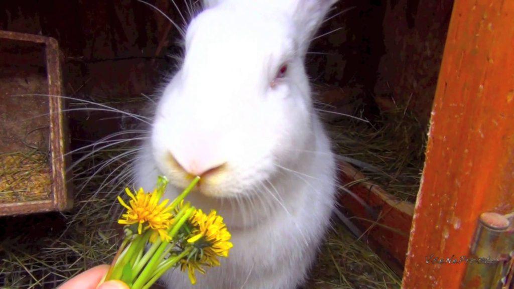 Одуванчики для кормления кроликов