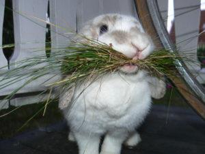 Кролик с сеном во рту
