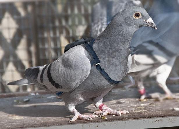 Бельгийский почтовый голубь