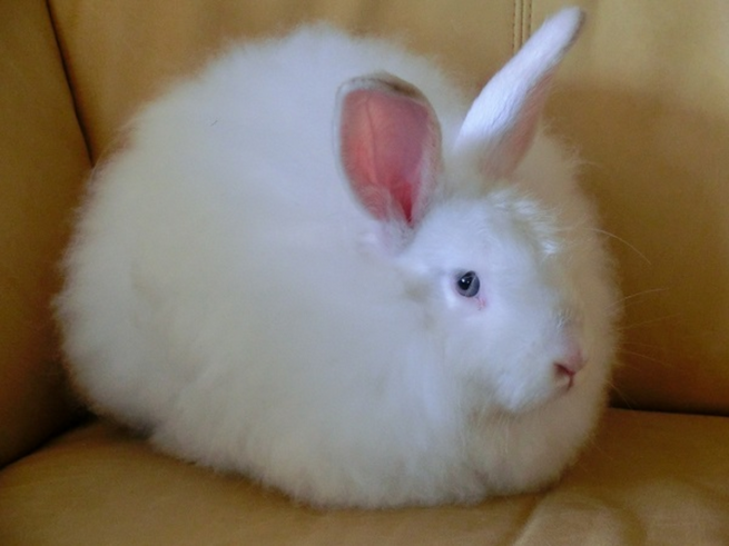 Кролик белый пуховой