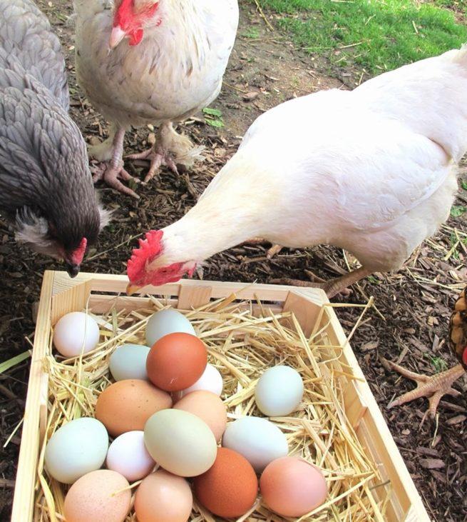 Куры снесли яйца