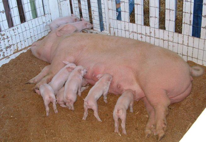 Свинья Йоркширской породы с поросятами