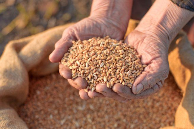 Пшеница в ладонях у человека