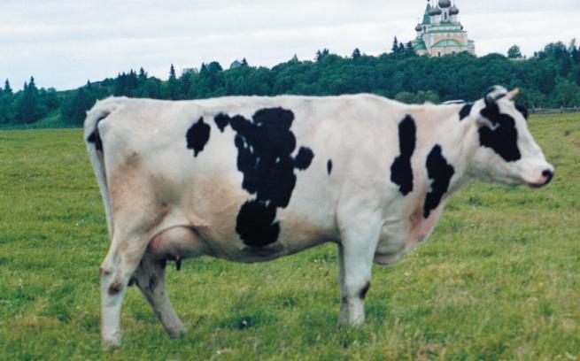 Корова Холмогорская