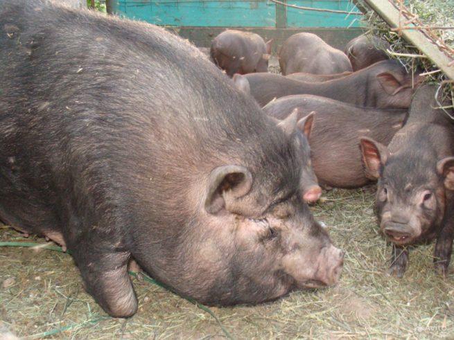 Свиноматка вьетнамской породы с поросятами