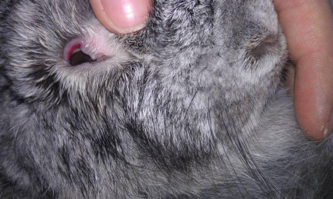 Язва роговицы у кроликов