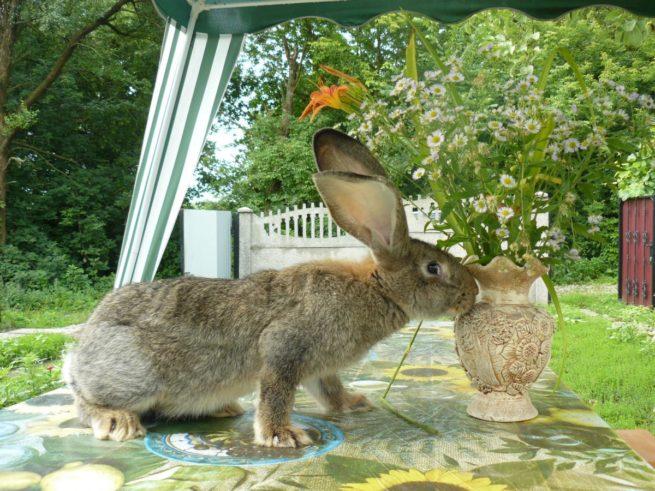 Кролик Фландр на столе