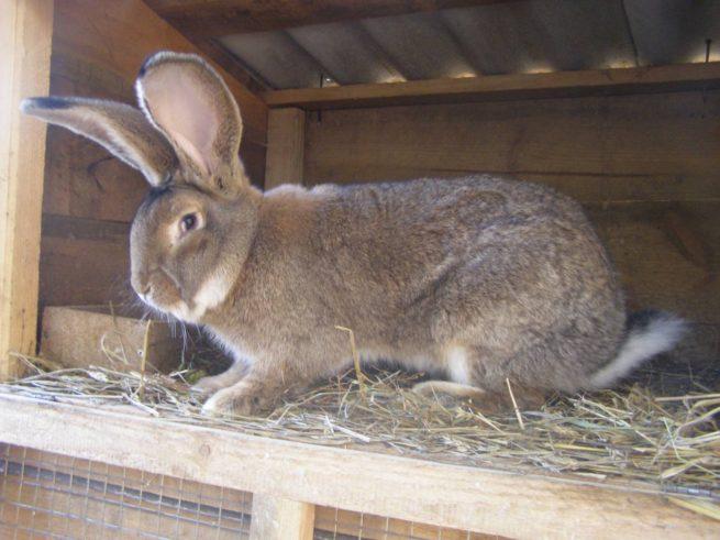 Кролик Фландр под навесом