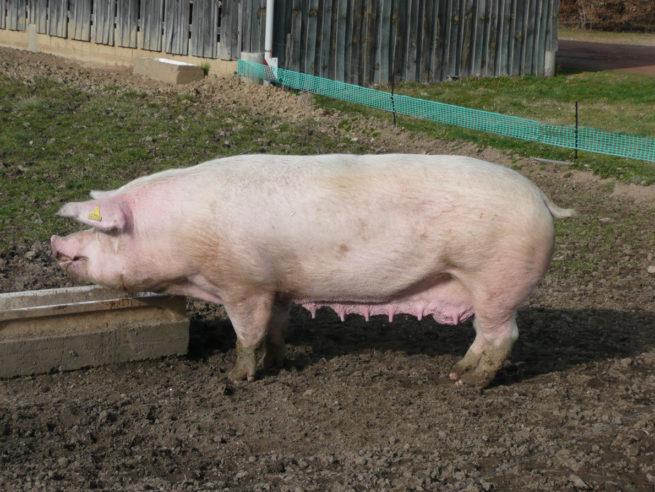 Свиноматка Ландрас