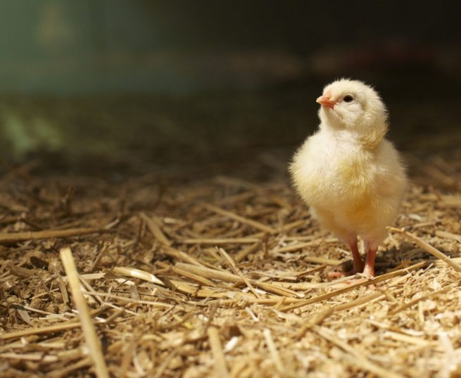 Цыпленок на соломе