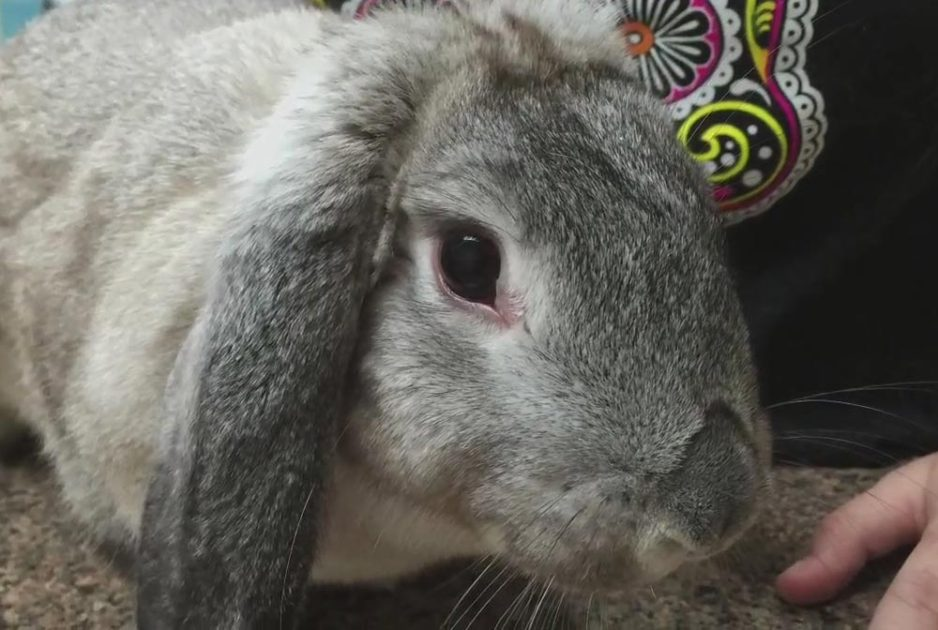 Болезни глаза у кроликов