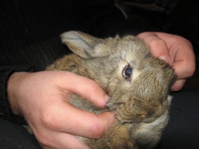 Конъюнктивит у кролика