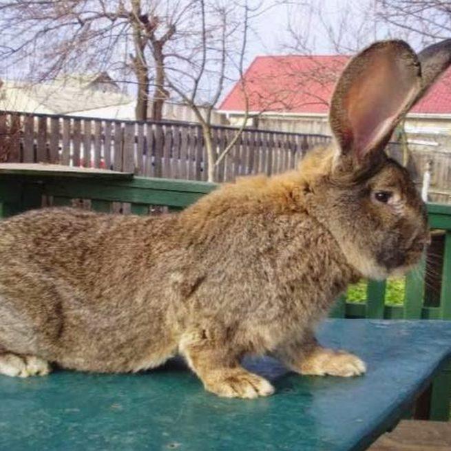 Кролик Фландр рыжей масти