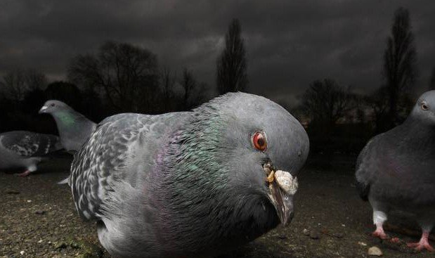 Кандидамикоз у голубя