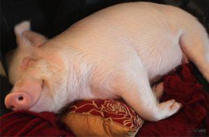 Поросенок на подушках