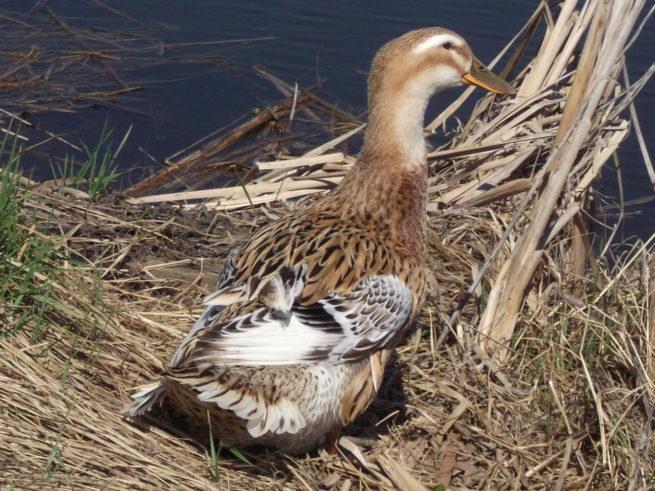 Цветная башкирская утка