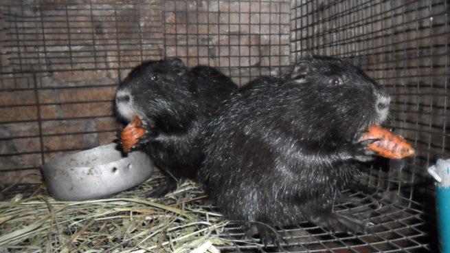 Нутрии едят морковь