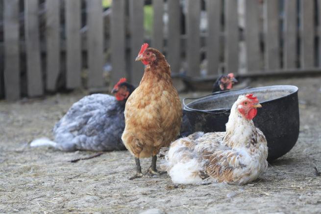Куры, больные птичьим гриппом