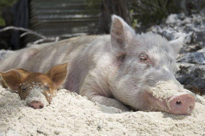 Свинья с поросенком