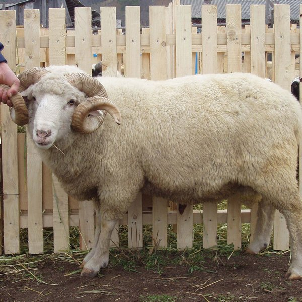 Овцы алтайской породы