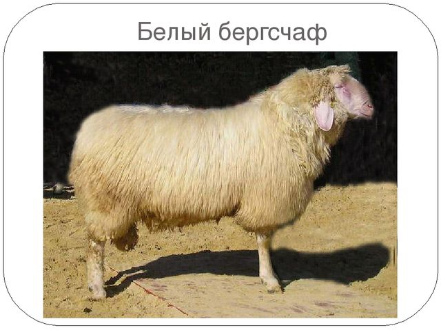 Овцы породы белый бергсчав