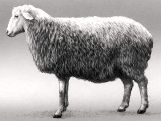 Овцы сокольской породы