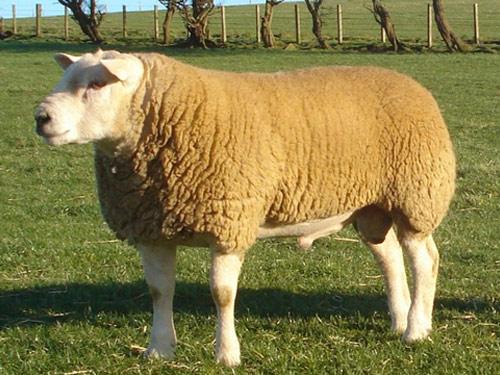 Овцы породы текстель