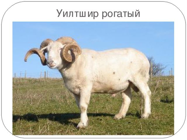 Овцы уилтриш рогатый