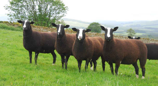 Овцы цвартблес