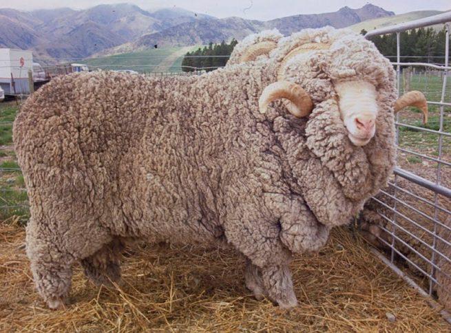 Овца мериносной породы